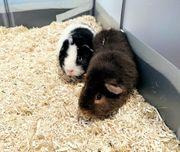 2 Teddy Meerschweinchen