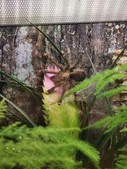 Avicularia Aurantiaca 0 1
