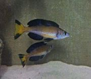 NZ Cyprichromis microlepidotus Kasai