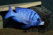 Malawi Placidochromis phenochilus Mdoka