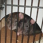 Ratten männlich