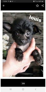 Chihuahua chinesischer Schopfhund Mischlinge