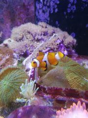 Aquarium Meerwasser Fisch Clownfisch