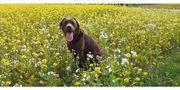 Labrador Rüde sucht Hündin zum