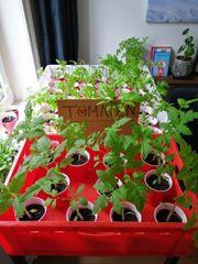 Tomatenpflanze Fleischtomate Pflanze Garten Beet