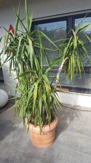 Yucca Palme ca 1 60