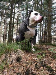 OEB Old english Bulldog