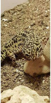 Gecko Terrarium inkl Inhalt