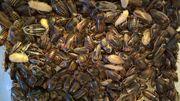 Zuchtansatz argentinische Waldschaben 1 kg
