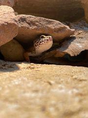 Leopardgeckos Männchen abzugeben