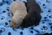 Labradorwelpen in schoko und blond -