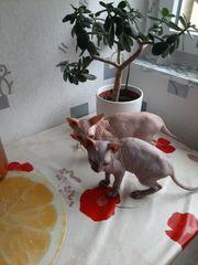 2 Kanadishe Sphynx Kätzchen