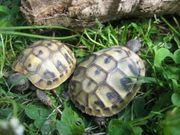 Griechische Landschildkröten Nachzuchten aus 2020