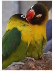 Suche Handzahm Love Bird