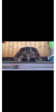 Griechische Landschildkröte abzugeben 2jahre