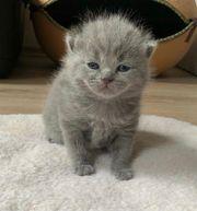 BKH Kitten - nur noch zwei