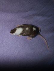 Farbmaus weiblich Agouti Piebald variable