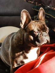 Suche Französische Bulldogge