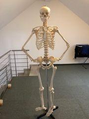Skelett für Anatomie