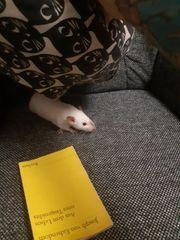 Ratten Weibchen