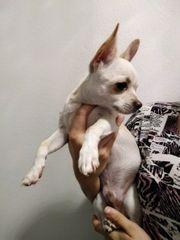 Junger weißer Chihuahua Rüde