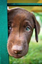 1 reinrassiger Labradorwelpe sucht seinen