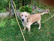 Golden Retriever 6 Monate alt
