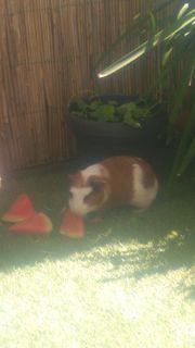 Meerschweinchen männchen zu verschenke