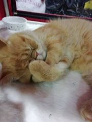 Exotic Shorthair Kitten Kurzhaarige Perser