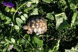 Bild 4 - schöne rundgewachsene griechische Landschildkröten ab - Bad Rappenau
