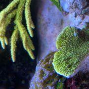 Montipora confusa Koralle ca 4cm