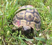 Weibl Griechische Landschildkröte Lisa sucht