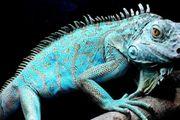 suche blauer Leguan