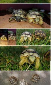 Breitrandschildkröten und Griechische Landschildkröten