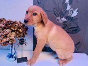Familienhund Labrador x Hovawart Welpen