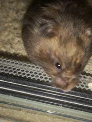 Teddy Hamster Dame