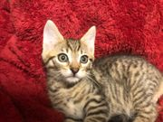 3 Maine Coon- Mix Kater