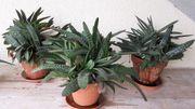 3 Haworthia Pflanzen Stöcke gehört