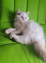 Perser Kitten colorpoint Creme Point