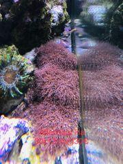 Brianeum Affenhaar lila groß
