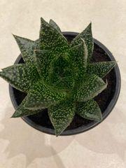 Aloe Aristata Neu