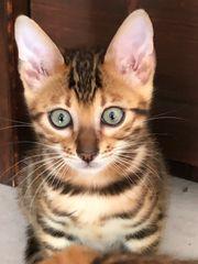 Bengal Kitten Kater braun Brown