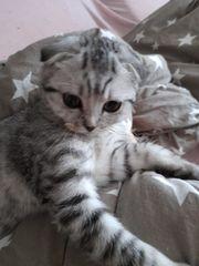 baby katzen kitten weiblichen britisch