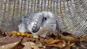 Zahme kleine Mini Zwergwidder Kaninchen-geimpft