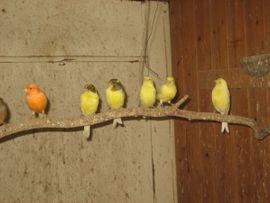 Bild 4 - Kanarienvögel von 2019 und 2020 - Birkenheide Feuerberg