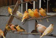 Kanarienvögel und Zwergtauben