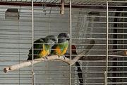 Mohrenkopf Papageien Pärchen mit Käfig