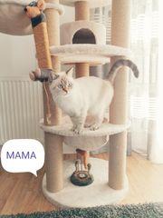 Wurfankündigung Reinrassige BKH Kitten