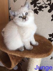Reinrassige BKH Kitten - weiß bluepoint -