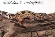 Leopardgecko 0 1 Wildfarben - Weibchen